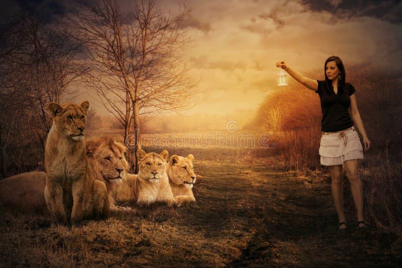 Camminando fra i leoni fotografia stock libera da diritti