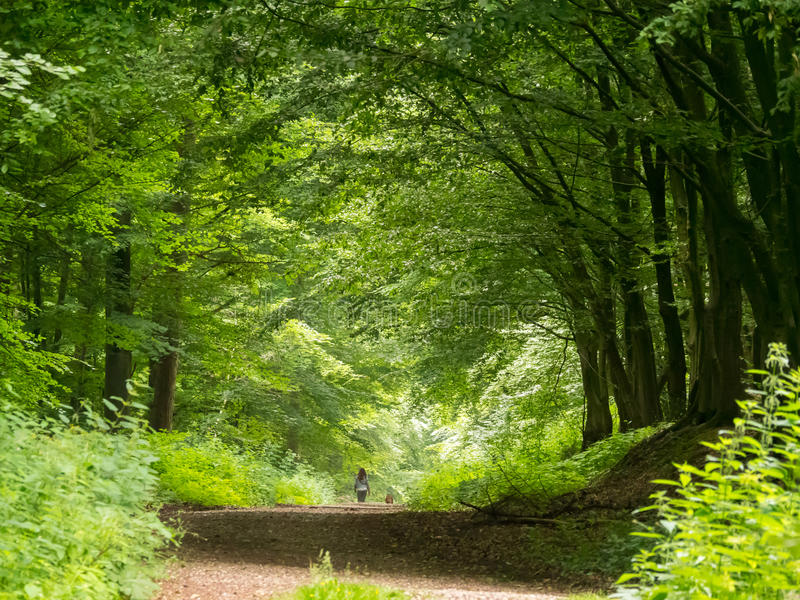 Camminando il cane attraverso la foresta del legno di faggio fotografia stock libera da diritti
