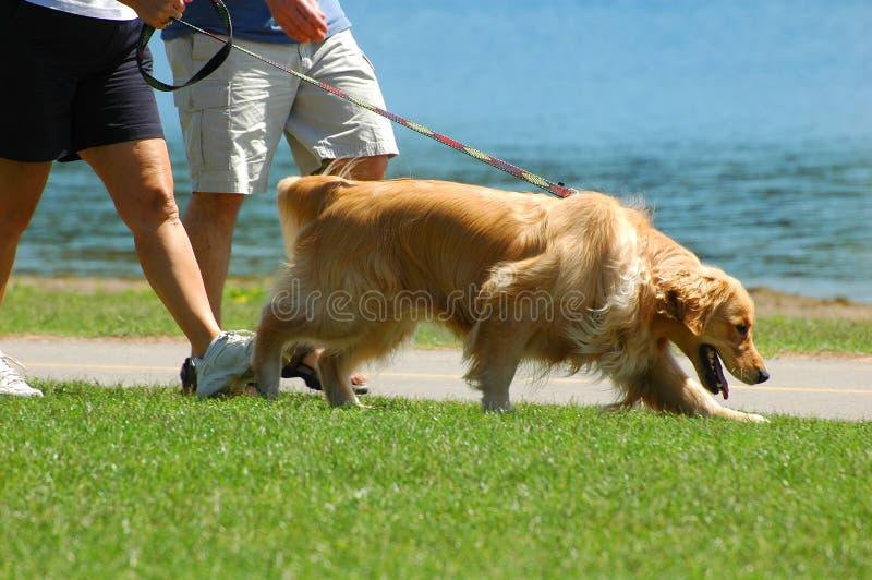 Camminando il cane nella sosta fotografia stock