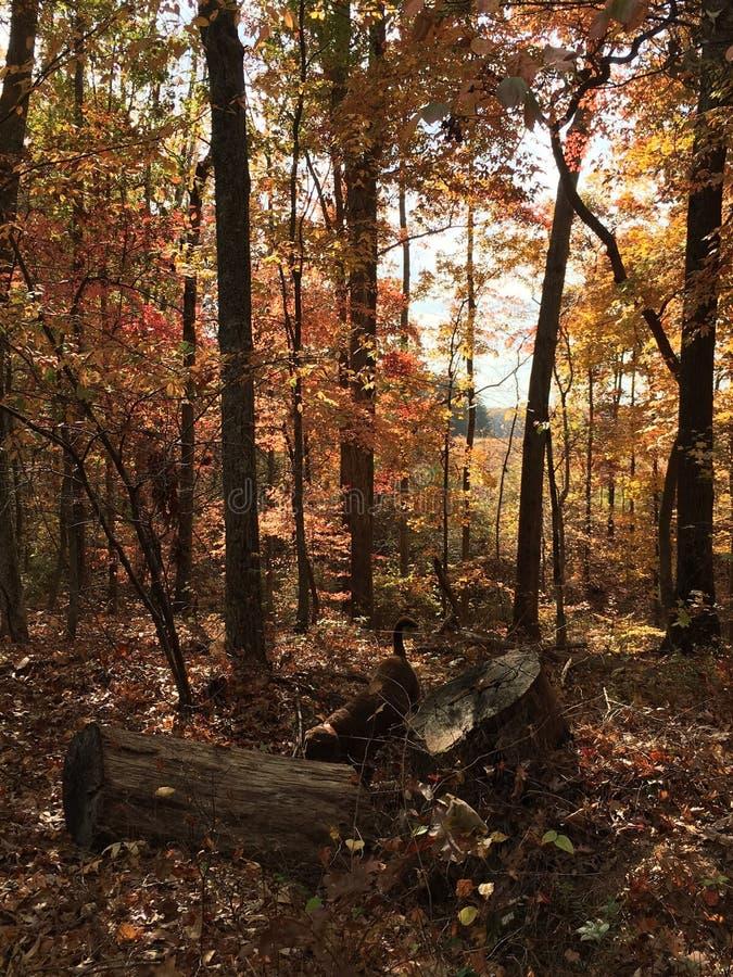 Camminando nel legno nella caduta in Georgia con la baia di Chesapeake Retreiver immagini stock libere da diritti