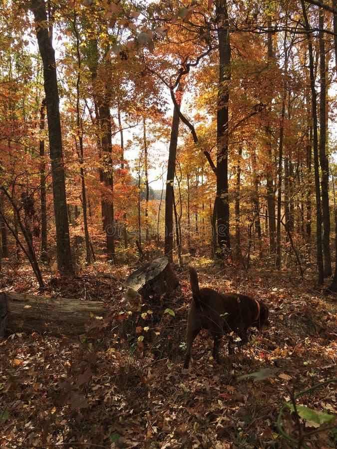 Camminando nel legno nella caduta in Georgia con la baia di Chesapeake Retreiver fotografia stock