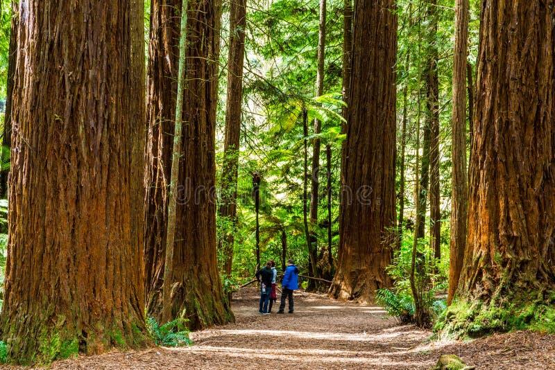 Camminando nella foresta delle sequoie - il Distretto di Rotorua fotografia stock