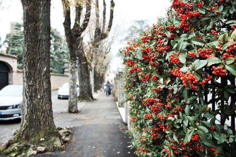 camminando a Treviso, un viale alberato con le pareti fiorite immagini stock libere da diritti