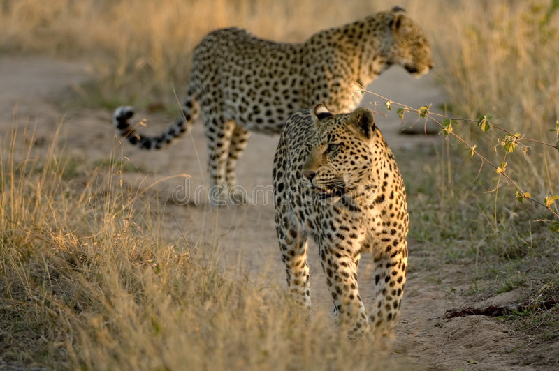 Camminare dei due leopardi fotografia stock