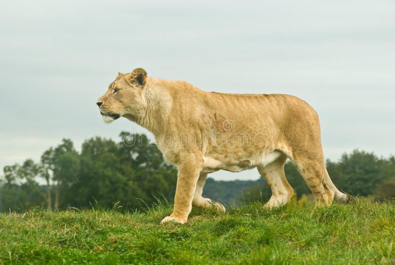 Camminare del Lioness fotografia stock libera da diritti