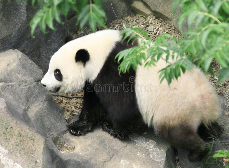 Camminare del panda fotografia stock
