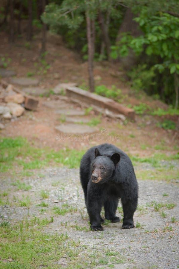 camminare del percorso dell'orso singolo fotografia stock libera da diritti