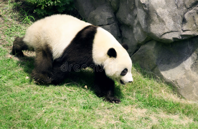 Camminare dell'orso del panda fotografie stock
