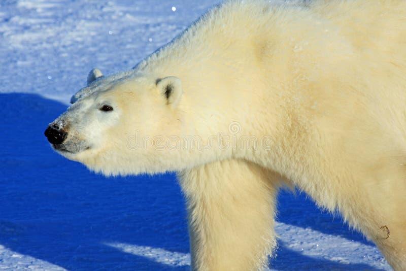camminare polare della neve dell'orso artico fotografie stock
