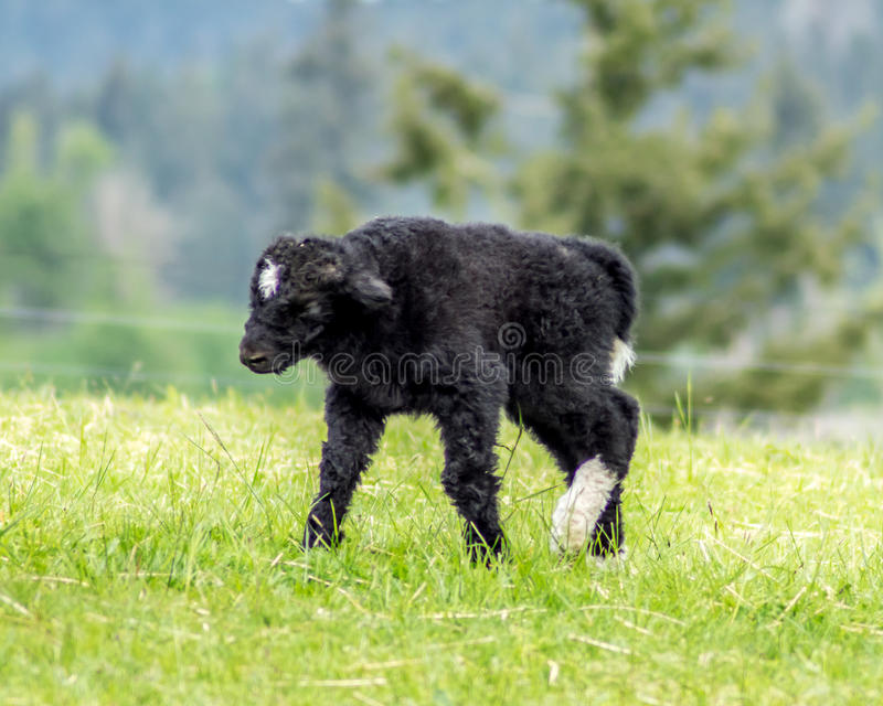 Camminata dei yak del bambino fotografia stock libera da diritti
