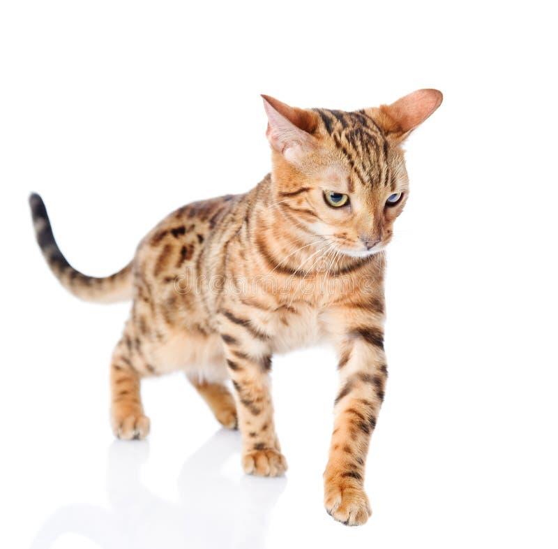 Camminata del gatto del bengala immagine stock immagine - Immagine del gatto a colori ...