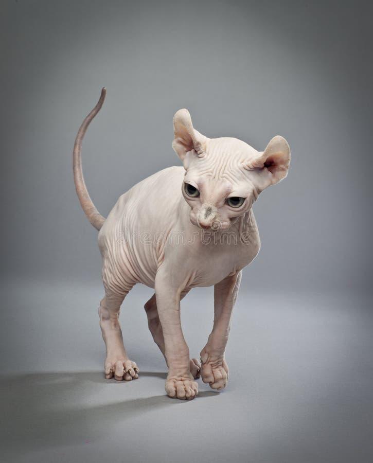 Camminata del gatto dell'elfo fotografia stock