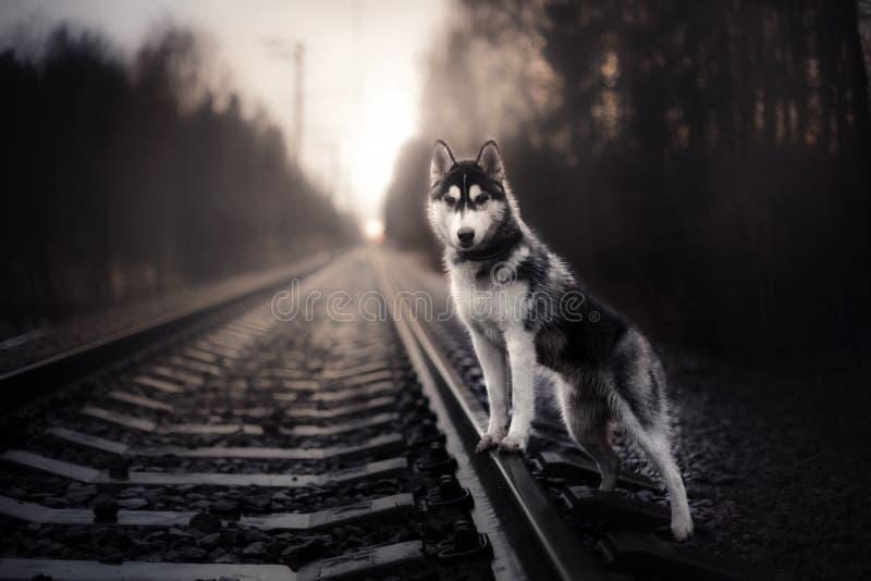 Camminata del husky siberiano del cane immagine stock libera da diritti