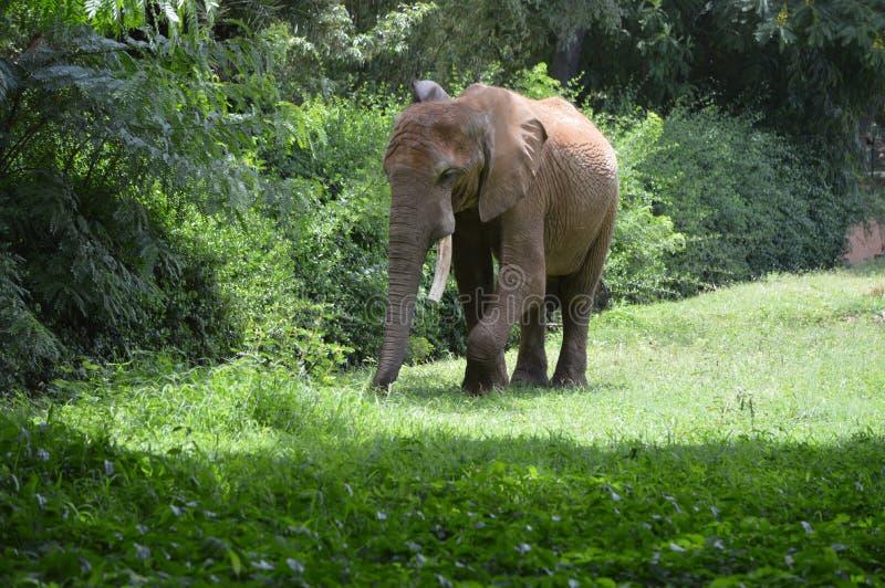 Camminata dell'elefante fotografia stock