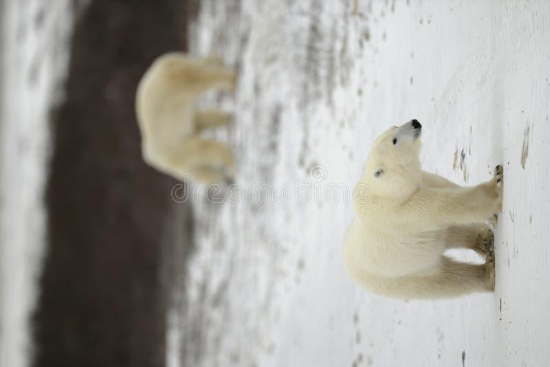 Camminata dell'orso polare. immagine stock