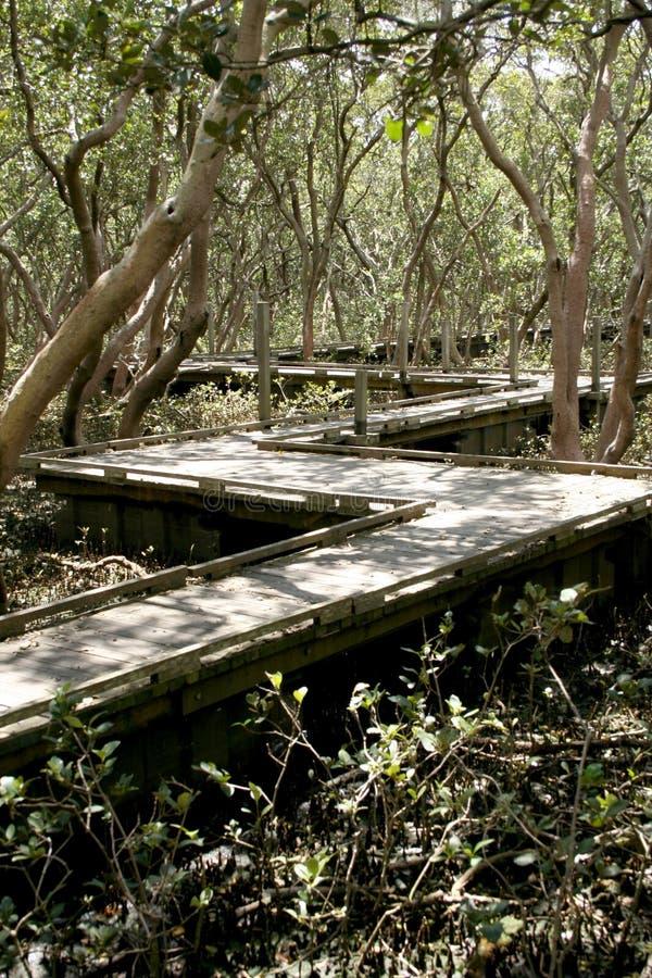 Camminata della scheda attraverso le mangrovie immagine stock libera da diritti