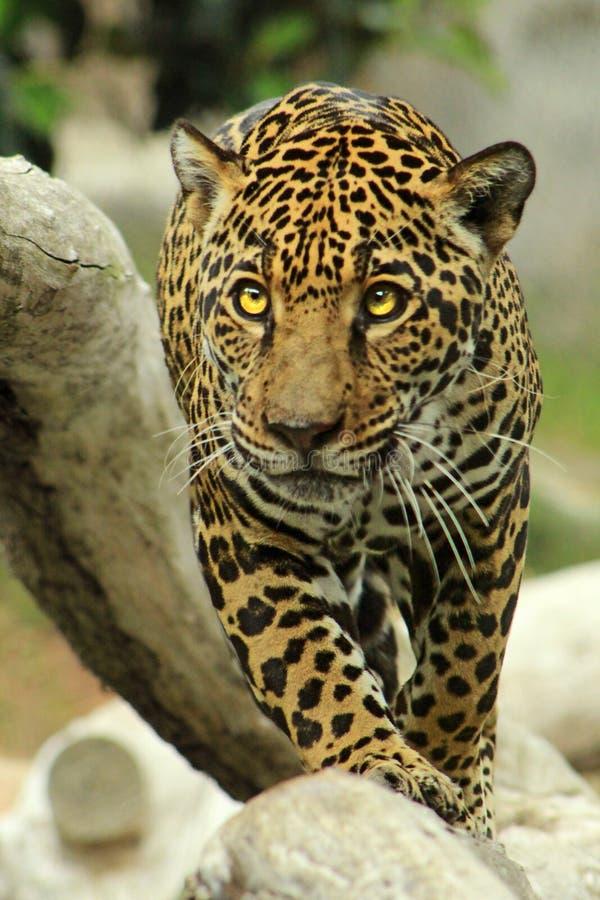 Camminata di Jaguar immagini stock
