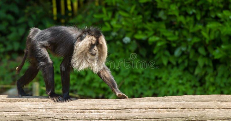 camminata Leone-munita del macaco fotografia stock libera da diritti