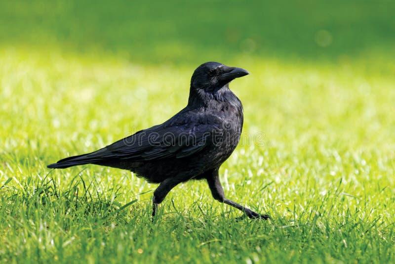 Camminata nera del corvo fotografie stock