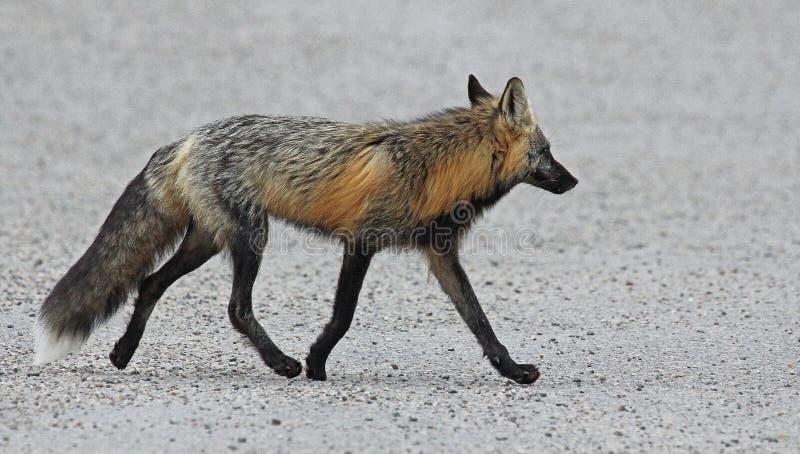 Cammino della volpe grigia fotografie stock libere da diritti