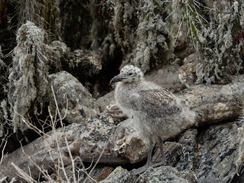 Cammuffamento selvaggio del gabbiano del Cile giovane fotografia stock