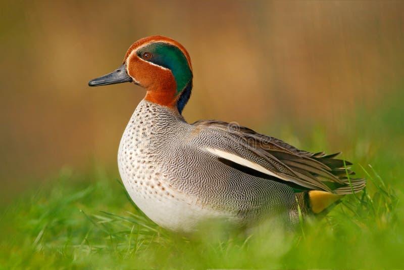 Camnon Teal, crecca d'ana, canard gentil avec la tête rouillée, dans l'herbe verte Oiseau de ressort près de l'eau Scène de faune image stock