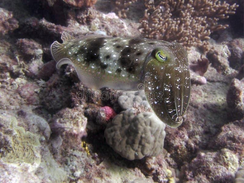 Camo Cuttlefish royalty free stock image