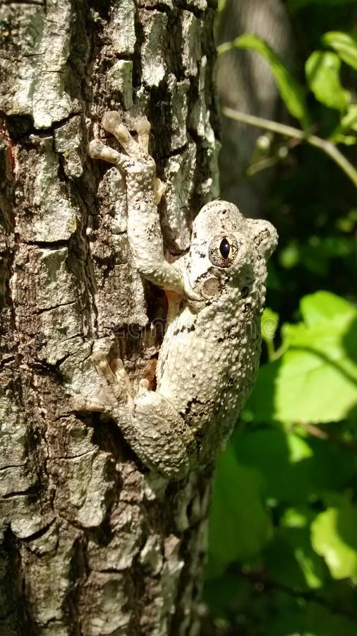 Camoflage trädgroda arkivbild