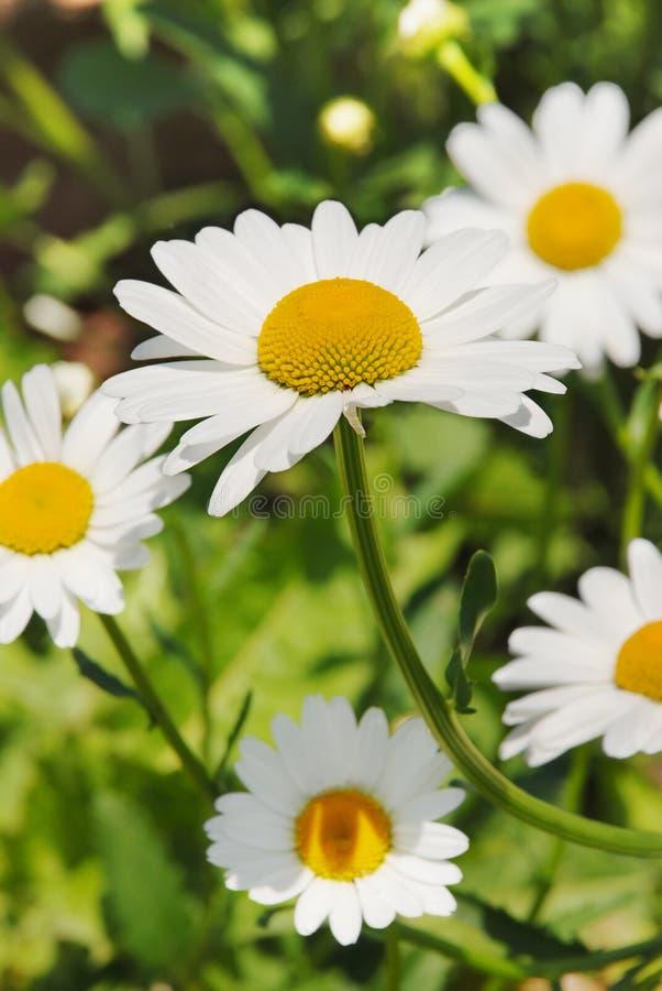 Download Camomila imagem de stock. Imagem de jardim, grama, medicina - 10053529