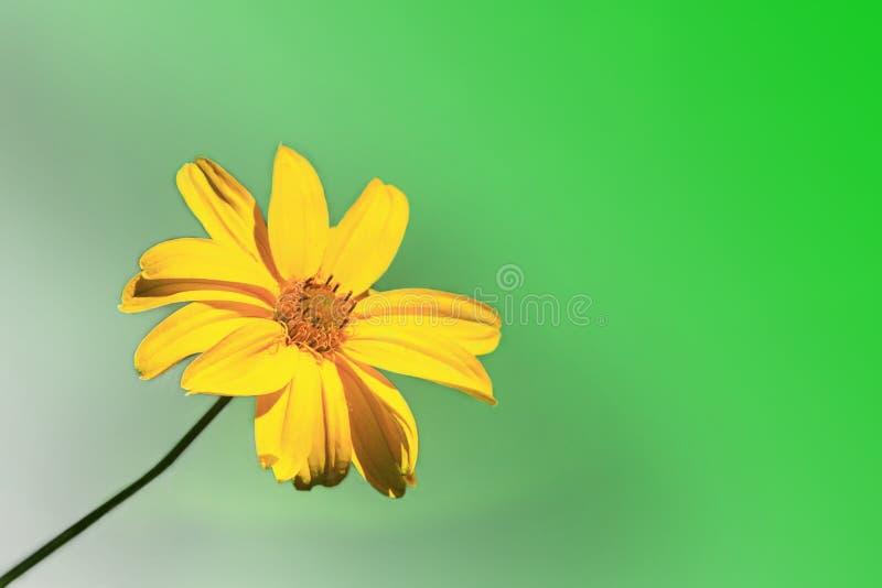 Camomila amarela no fundo esverdeado imagens de stock