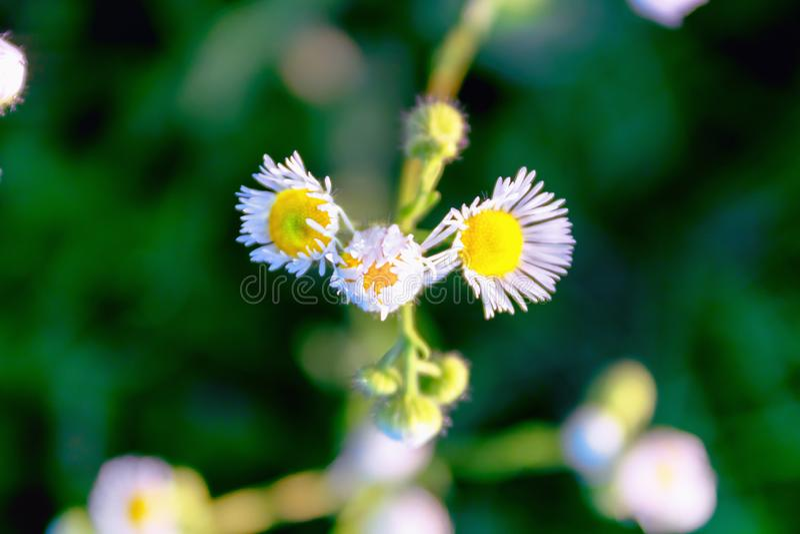 Camomila bonita das flores do medow fotografia de stock