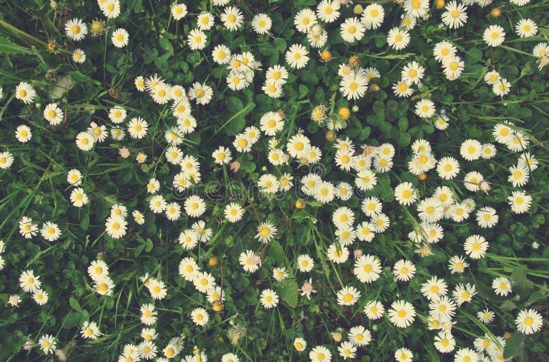 A camomila branca e amarela floresce na grama verde; textura floral do estilo retro fotografia de stock