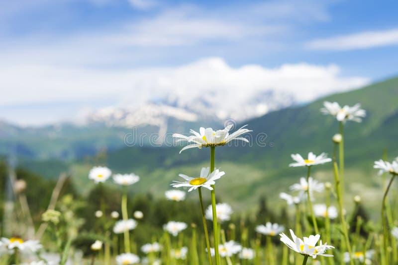 A camomila branca floresce no prado verde no monte no fundo borrado de montanhas nevado no dia de verão ensolarado claro imagens de stock royalty free