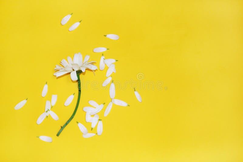 Camomila com as pétalas rasgadas no fundo amarelo fotografia de stock