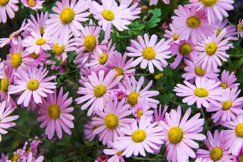 Camomila cor-de-rosa do outono. fotografia de stock
