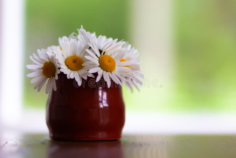 Camomila da flor fresca no potenciômetro de argila marrom na tabela com espaço da cópia imagem de stock