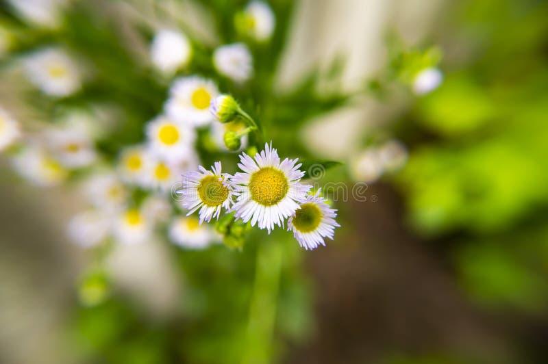 Camomila de campo da flor Foto macro foto de stock royalty free