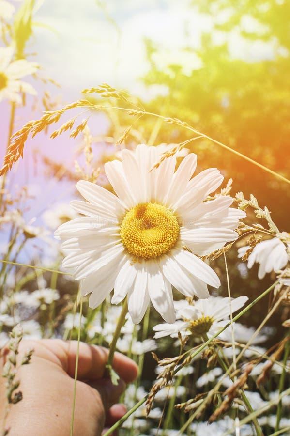 Camomila em um prado na luz solar, close up do verão Fundo bonito do verão Efeito do sol de ajuste imagens de stock royalty free