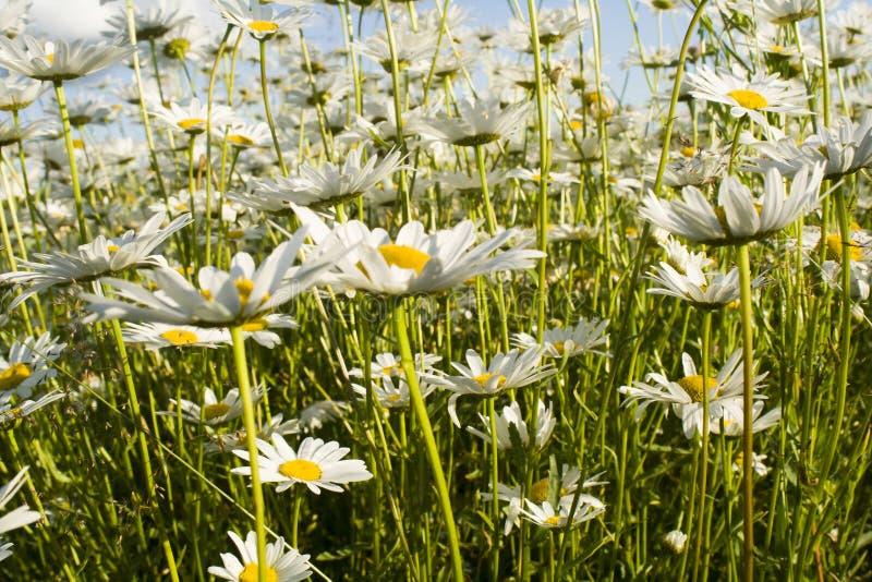 Camomila no campo Margaridas brancas no prado Flores na primavera fotos de stock