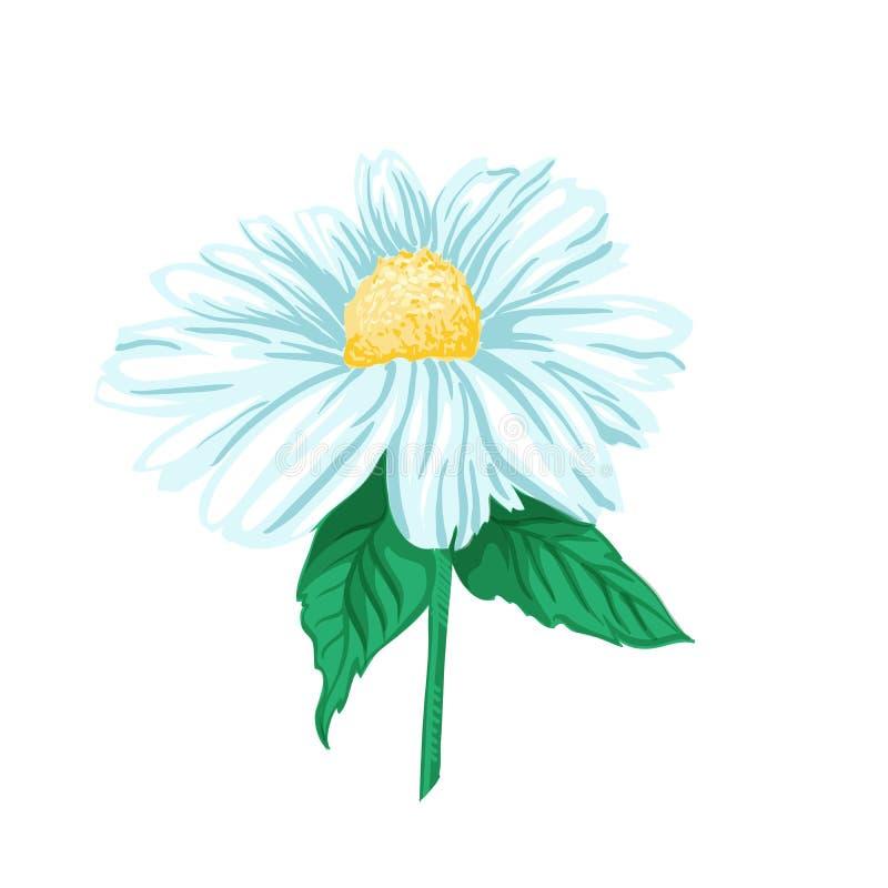 Camomila ou Daisy Tea Herb Ilustração isolada do vetor ilustração do vetor