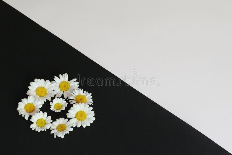 Camomilas brilhantes bonitas em contrastar o fundo combinado Conceito simbólico — verão, humor, resto, amor, congratulatório fotos de stock