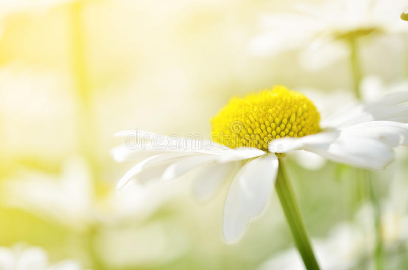 Camomile θερινών λουλουδιών άνθη στο λιβάδι Μακρο φωτογραφία στοκ εικόνες με δικαίωμα ελεύθερης χρήσης