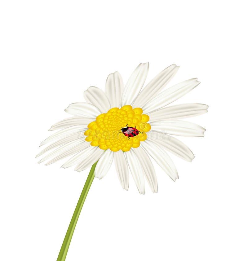 Camomile κινηματογραφήσεων σε πρώτο πλάνο λουλούδι με το ladybug που απομονώνεται στο άσπρο backgroun ελεύθερη απεικόνιση δικαιώματος