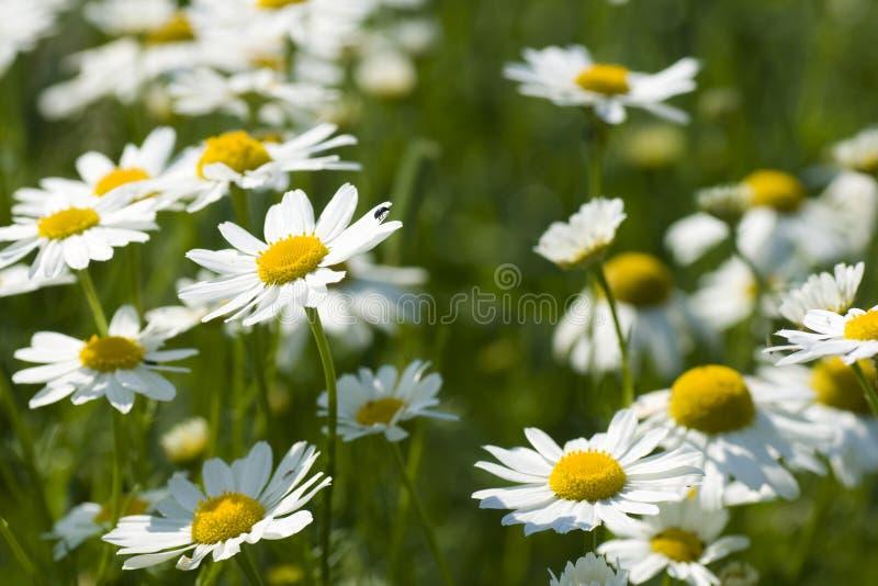 Camomile λουλούδια στοκ φωτογραφία με δικαίωμα ελεύθερης χρήσης