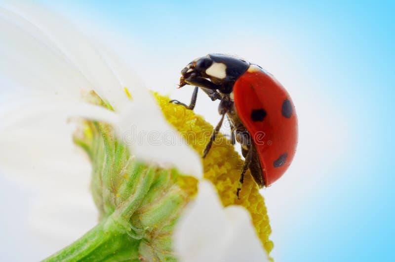 camomile λουλούδι ladybug στοκ φωτογραφία