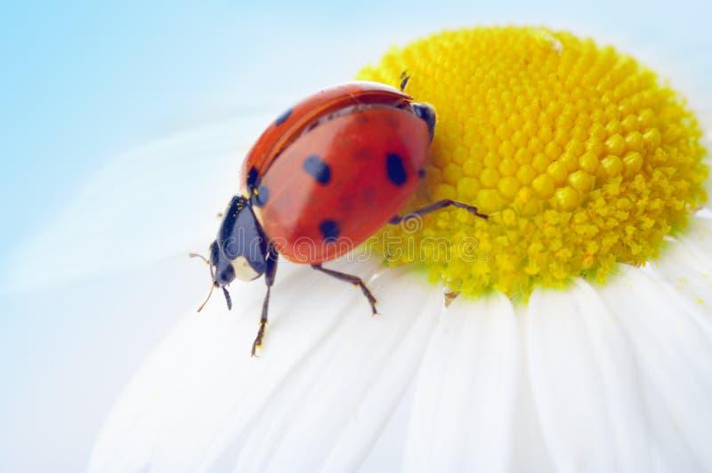 camomile λουλούδι ladybug στοκ εικόνες