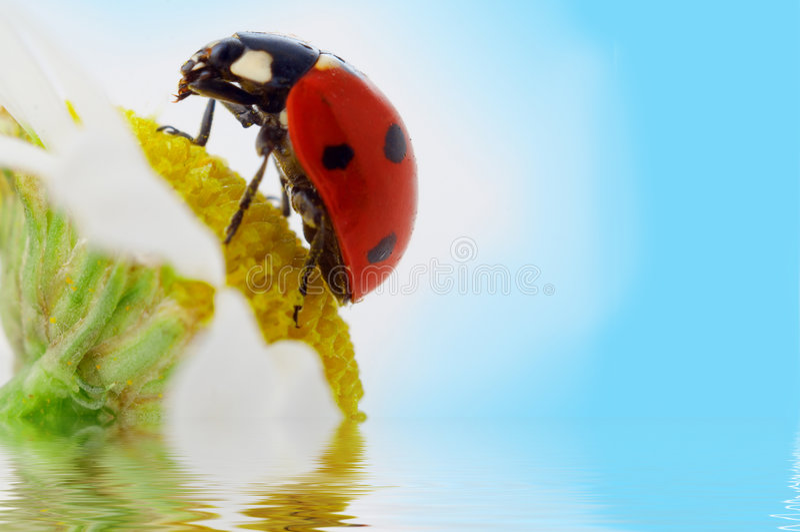 camomile λουλούδι ladybug στοκ φωτογραφία με δικαίωμα ελεύθερης χρήσης