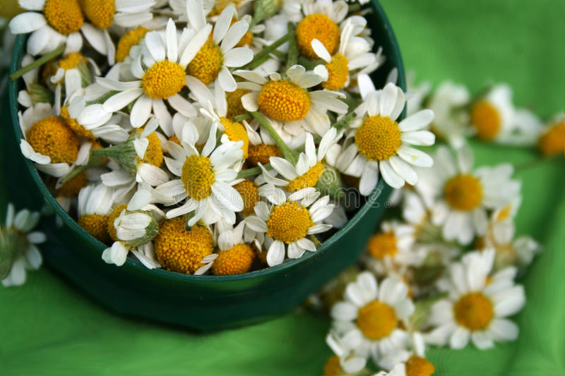 Download Camomile stock photo. Image of beauty, green, dish, life - 10113504