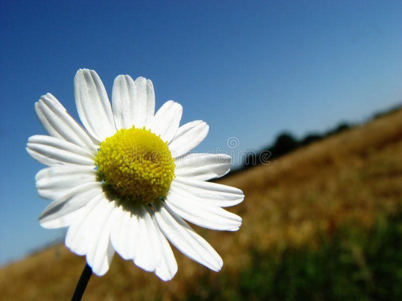 Download Camomile stock image. Image of growing, sunny, blue, agriculture - 10665