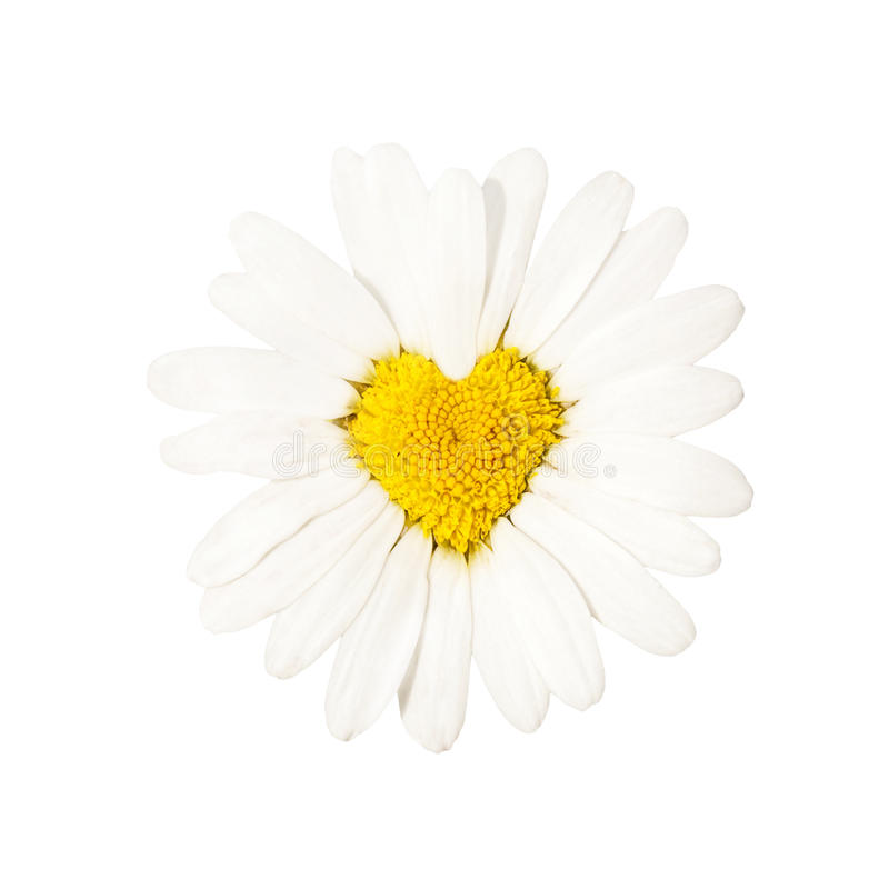 Camomile. White camomile, form of heart royalty free stock photos